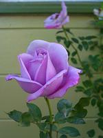 rosa-fertilizzata con placenta